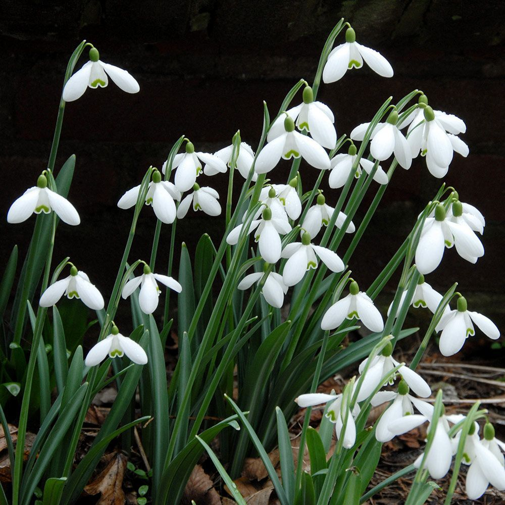 Galanthus S Arnott White Flower Farm Autumn Flowering Plants Potted Plants Outdoor