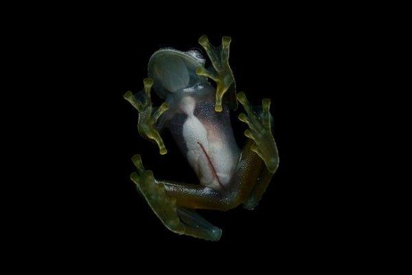 Las fotos de la hermosa rana de cristal
