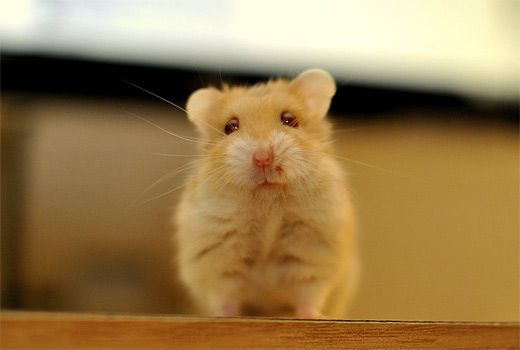 Cute adorable hamster picture photos photography