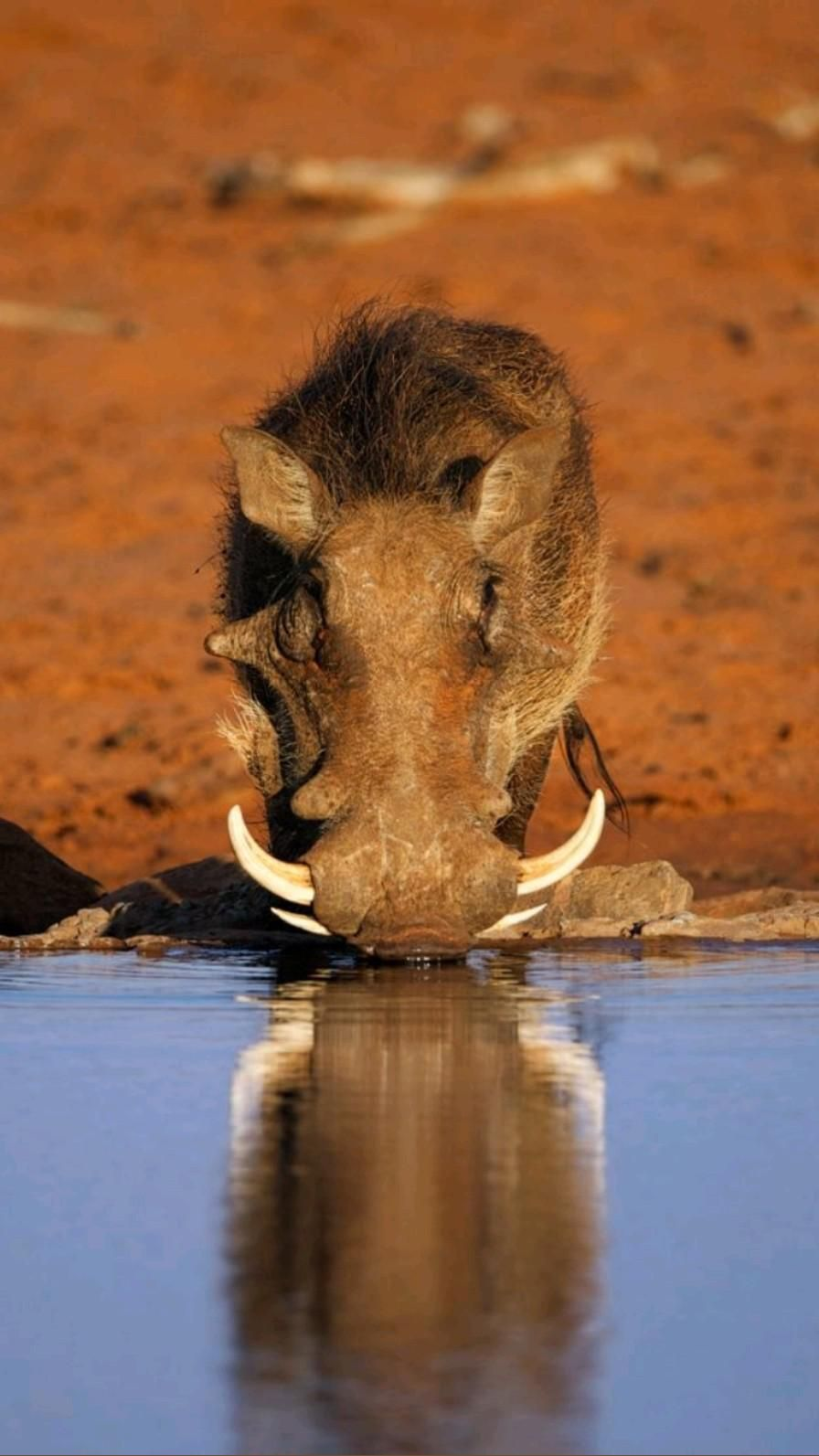 Warthog (s)