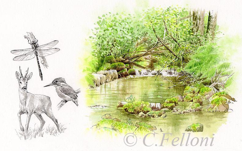 Cincle Plongeur Aquarelle Naturaliste Www Lb Illustrations Com