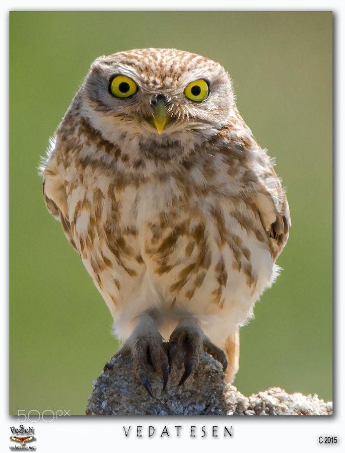 Little Owl by vedatesen #animals #pets #fadighanemmd