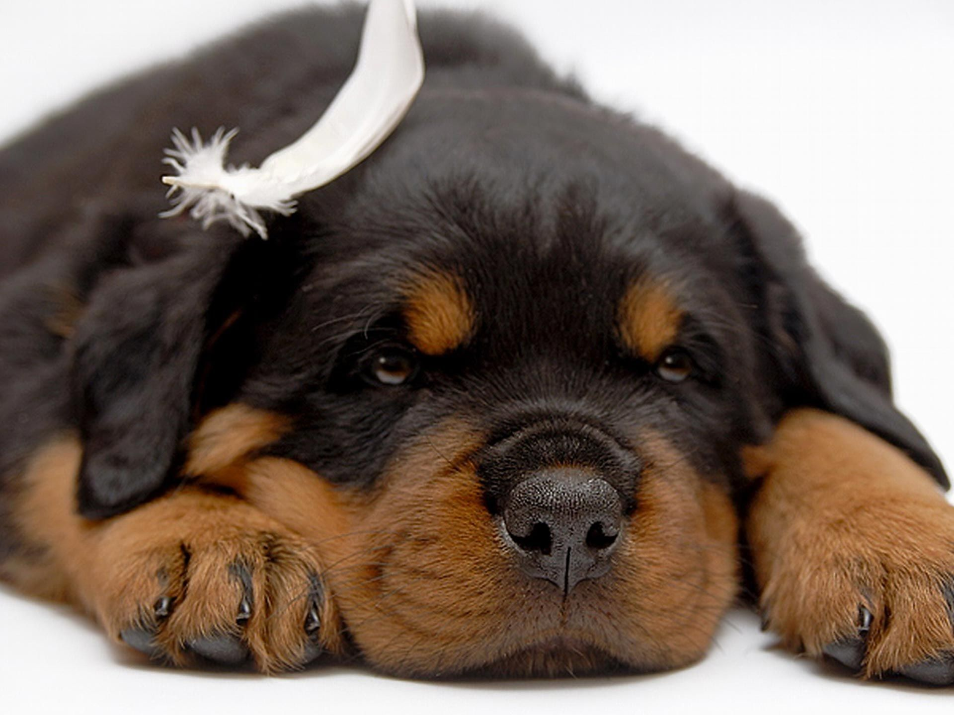 Colorful Pictures Of Rotties Rottweiler Desktop Gallery Animals