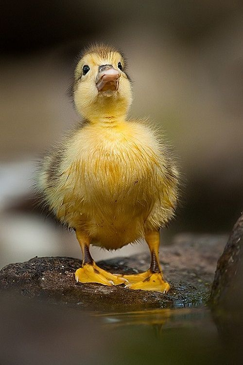 Untitled | Water Birds | Pinterest | Baby ducks, Bird and Animal