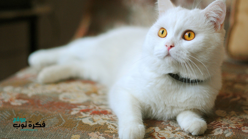 صور قطط جميلة عالية الدقة Hd 2019 5 Russian White Cat White Cats Cats