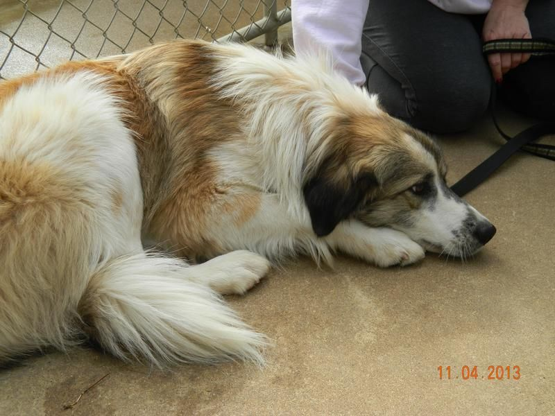 Adopt Bandit On Great Pyrenees I Love Dogs Cute Funny Animals