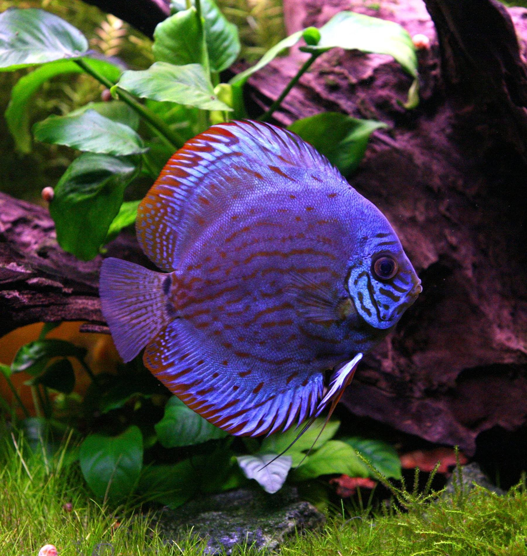 Very colorful freshwater aquarium fish - The Discus Fish Is A Very Colorful Flat Fish That Many Fish Lovers And Aquarium Enthusiasts