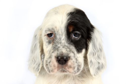 www.petclic.es la mayor tienda online de productos para #mascotas. La mayor biblioteca de contenido y consejos sobre mascotas. 1.000 consejos. 50.000 imagenes. Foto del #perro setter ingles
