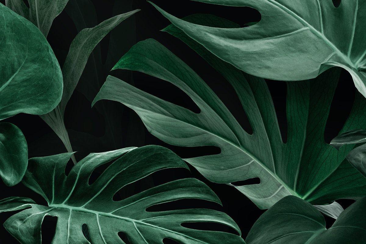 Download Premium Illustration Of Fresh Natural Green Monstera Deliciosa Monstera Deliciosa Monstera Garden Illustration