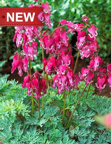 Red Fountain Bleeding Heart Is A Fern Leaf Type With Pendulous Red Blooms In Mid Spring Plant In Parti Bulb Flowers Container Gardening Shade Types Of Flowers