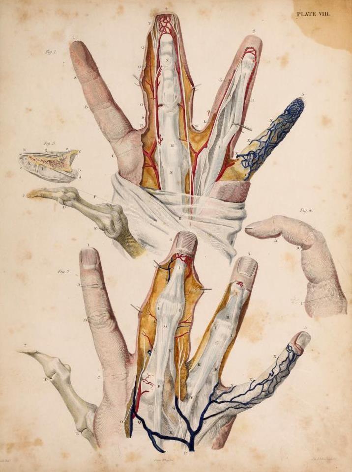 Anatomía de los dedos de \