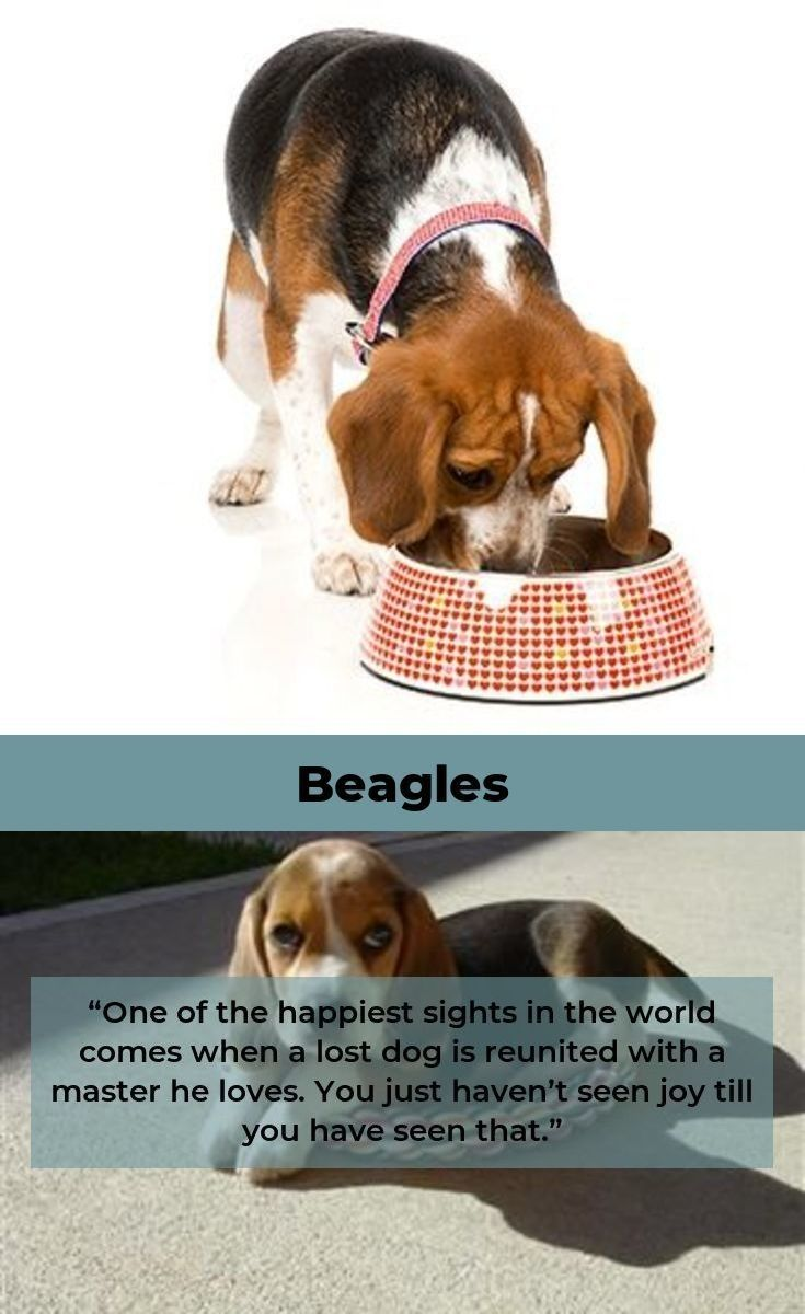 Beagle Dog Beaglegang Beagles Training Beagle Beagle Beagle