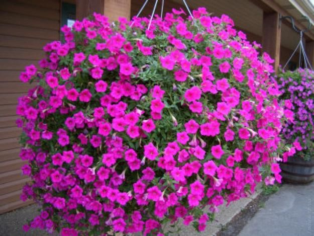 25 Beautiful Backyard Ideas For Growing Petunias In Containers Container Flowers Annual Flowers Wave Petunias