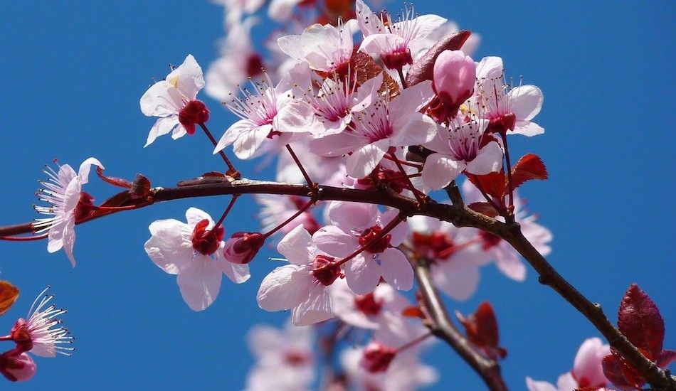 It S Sakura Time In Japan See Cherry Blossoms And Stay In Ryokans Instead Of Hotels Japanese Cherry Tree Japanese Cherry Blossom Almond Blossom