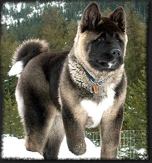 Although Known To Be A Quiet Dog The Akita Has Strong Guarding