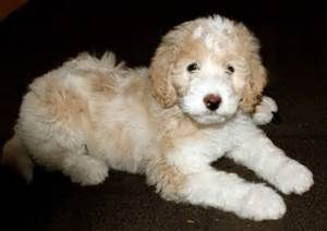 Great Pyrenees Poodle Mix Puppy Poodle Puppy Poodle Mix Puppies