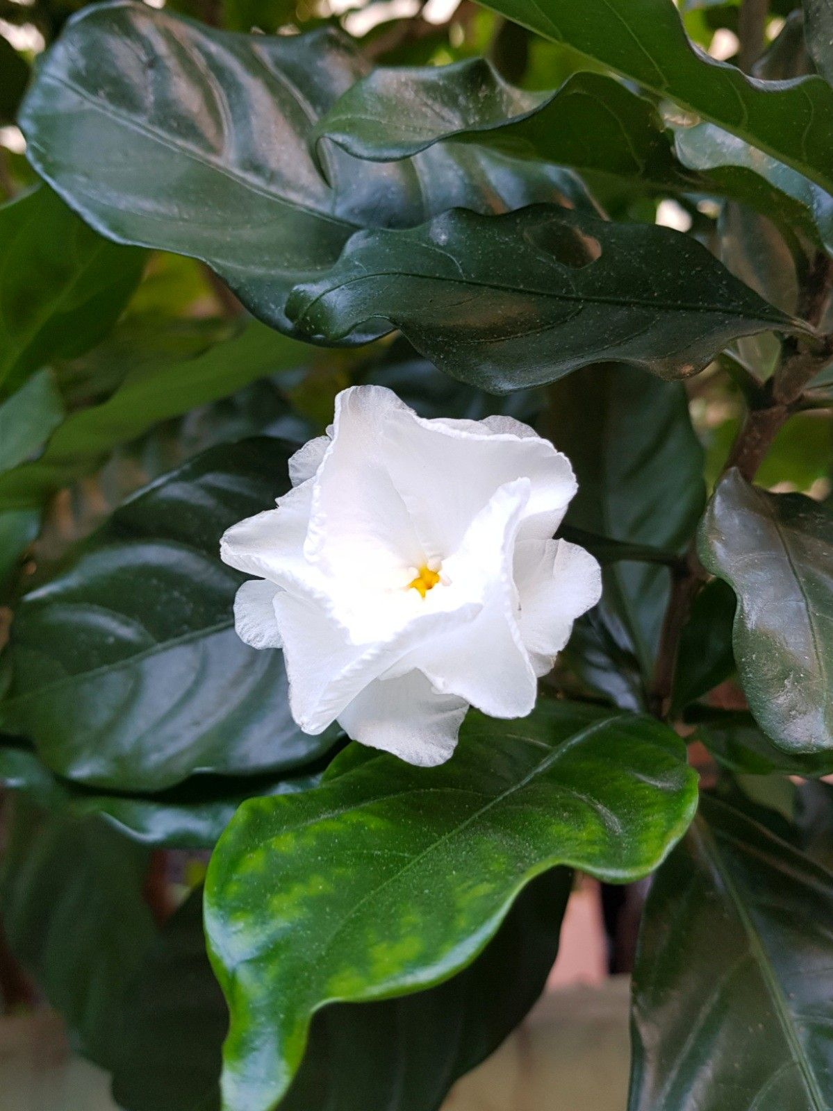 Gardenia Fragrant Flower Fragrant Flowers Asian Flowers Flowers