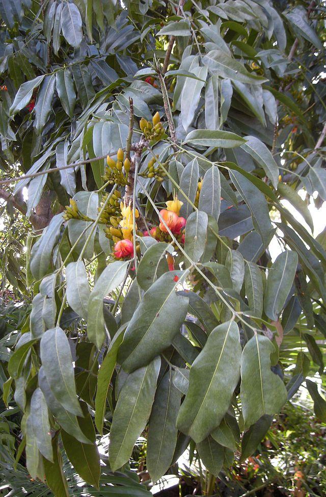 Castanospermum Australe Moreton Bay Chestnut Or Blackbean Is A Flowering Plant Native To The East Coast Of A Fruit Garden Layout Fruit Trees Planting Flowers