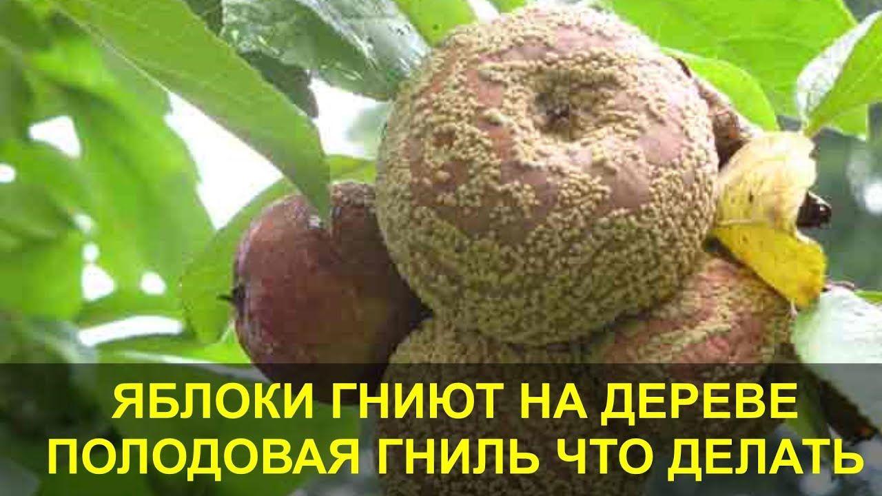 Гниют Яблоки на Дереве. Плодовая Гниль - Монилиоз, что ...
