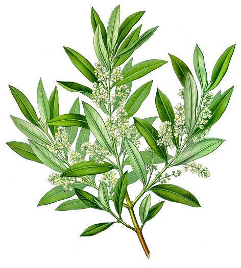 Oliven (Olea europaea)