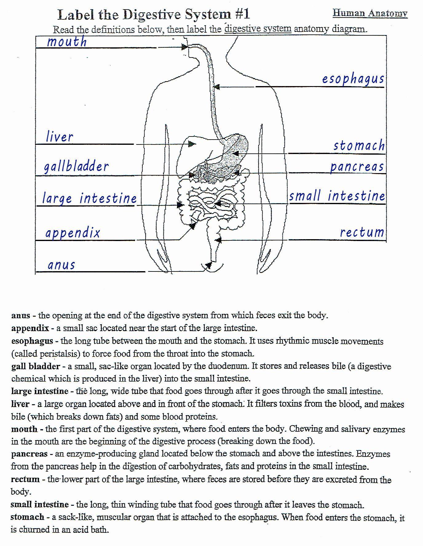 Digestive System Worksheet Answer Key Beautiful 13 Best Of Biology Corner Worksheets In 2020 Digestive System Worksheet Human Digestive System Digestive System Diagram