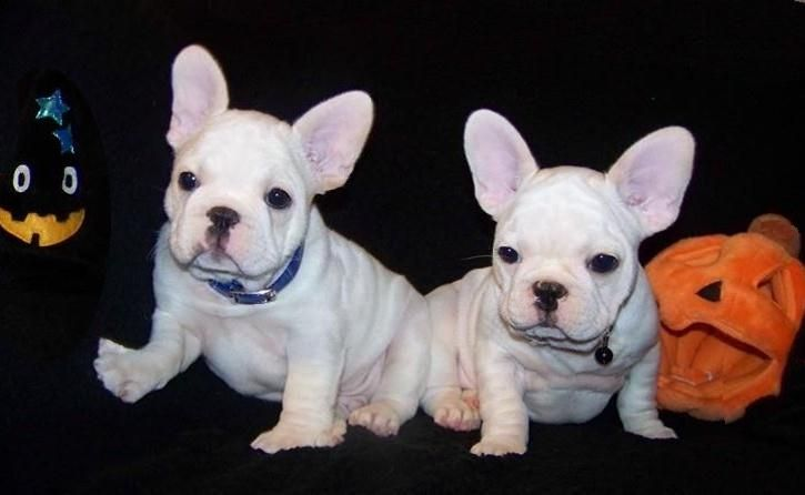 French Bulldog Puppies Past Pups Page French Bulldog Puppies French Bulldog Breeders French Bulldog