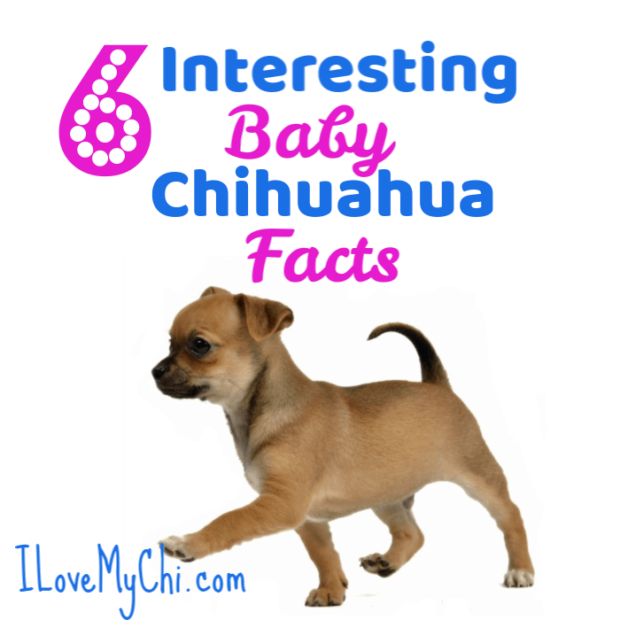 Pin On Chihuahua Breeds
