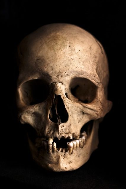 real human skull references for artists - google search | human, Human Body