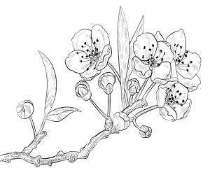 kirschblüten malvorlage   blumen zeichnung, blumen