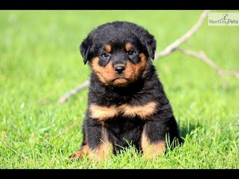 My Dad S Future Dog Pretty Cute Baby Rottweiler Rottweiler Puppies