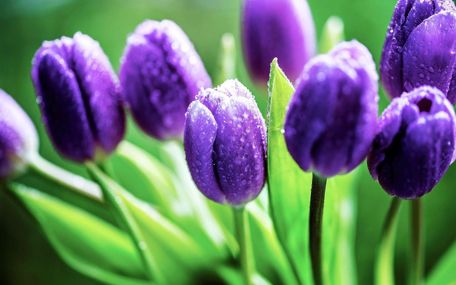nahaufnahme foto von lila tulpe mit tautropfen hd blumen 1600 1000. Black Bedroom Furniture Sets. Home Design Ideas