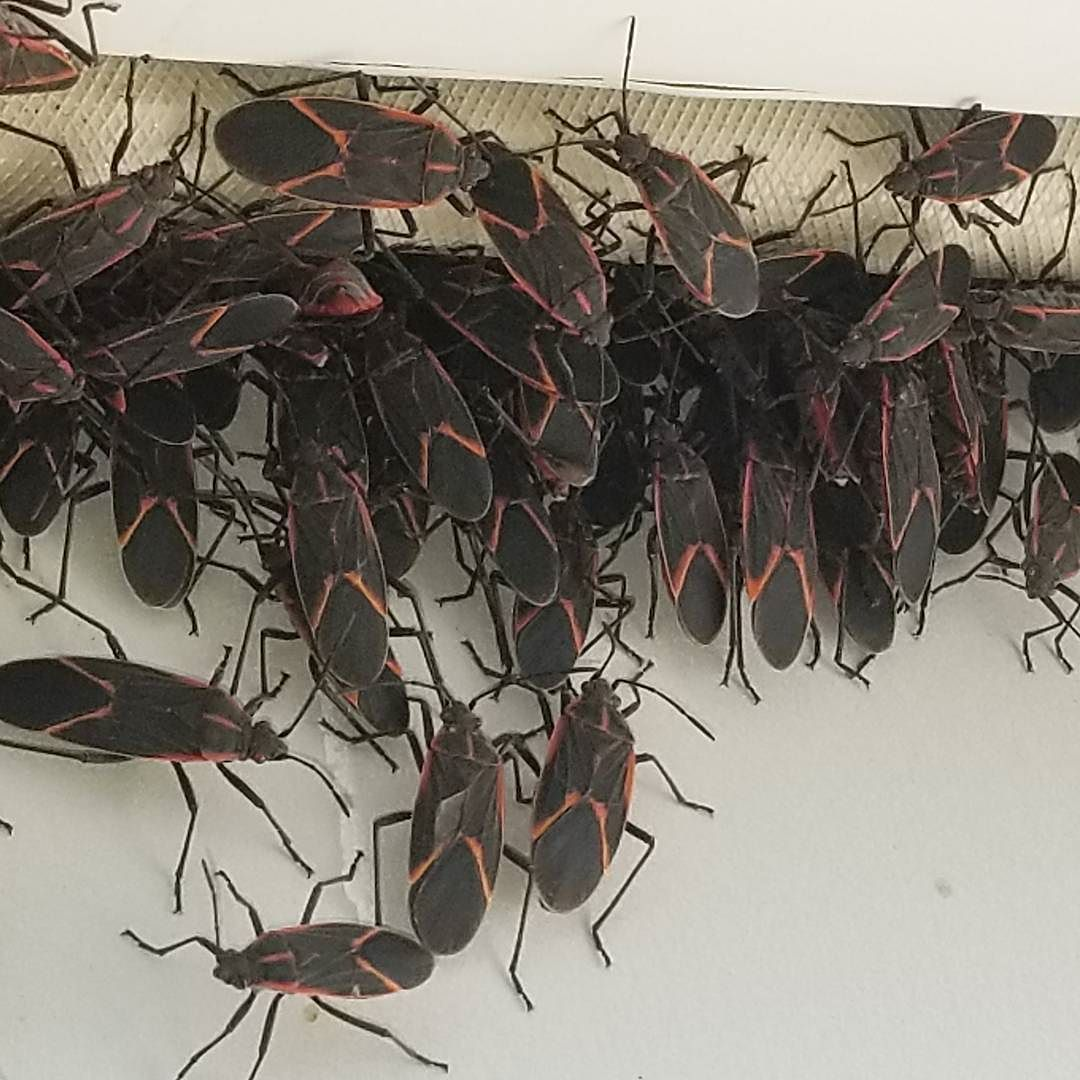 Box elder bugs just waiting to enter your house!