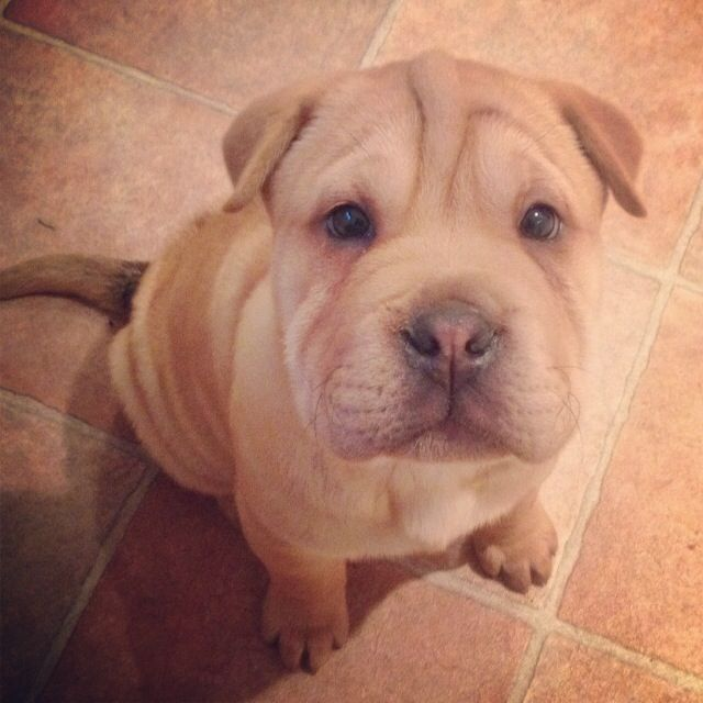My Lil Baby Boy Teddy Bullpei Sharpei X British Bulldog