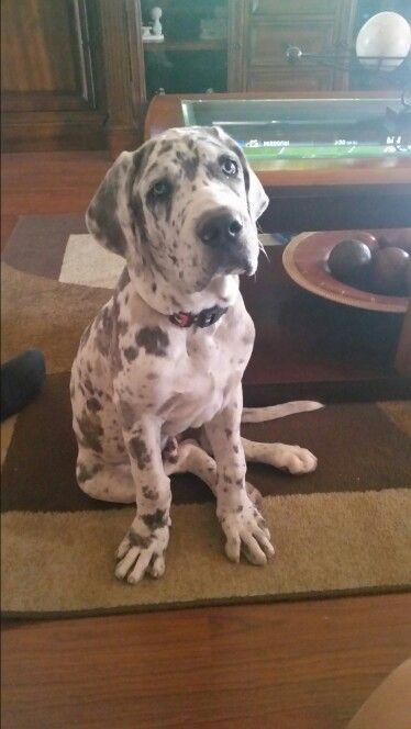 Daniff Puppy Unique Dog Breeds Great Dane Mastiff Big Dogs
