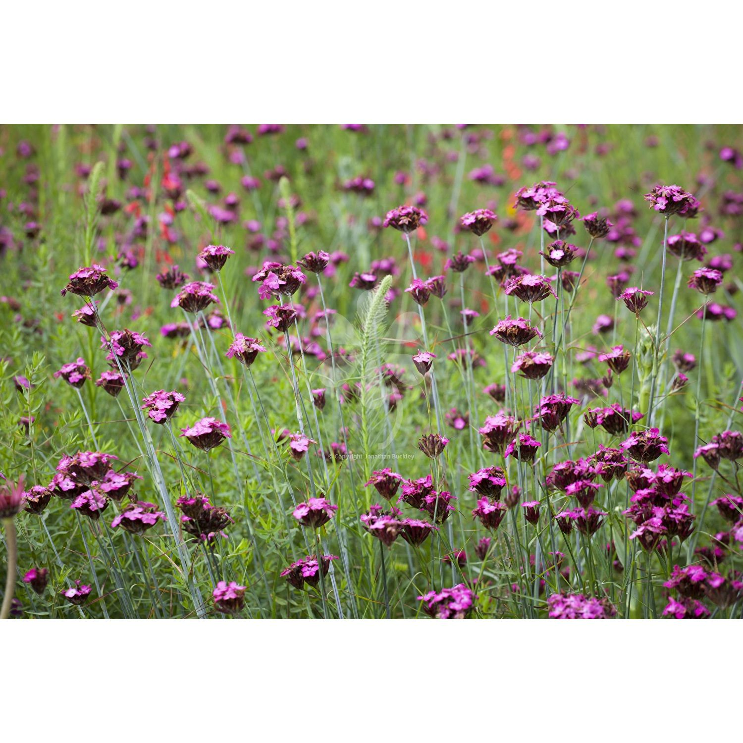 Dianthus carthusianorum Wild flower meadow Perennials and Wild