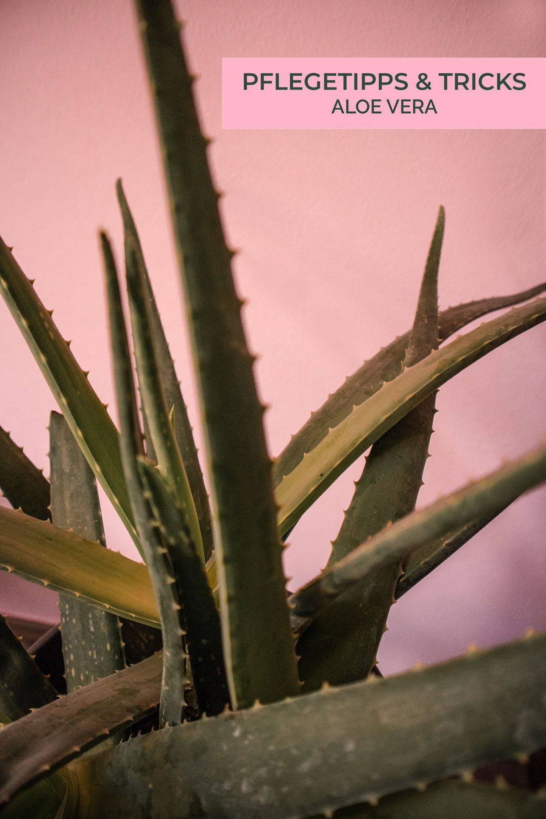 Pflegetipps Tricks Aloe Vera Aloe Vera Pflanze Pflege Aloe Vera Pflanze Aloe Vera Ableger
