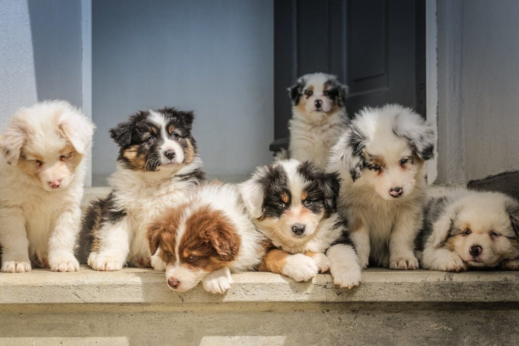 The 112 Most Popular Australian Shepherd Names Of 2019 Puppy Litter Cute Dog Pictures Cute Dogs
