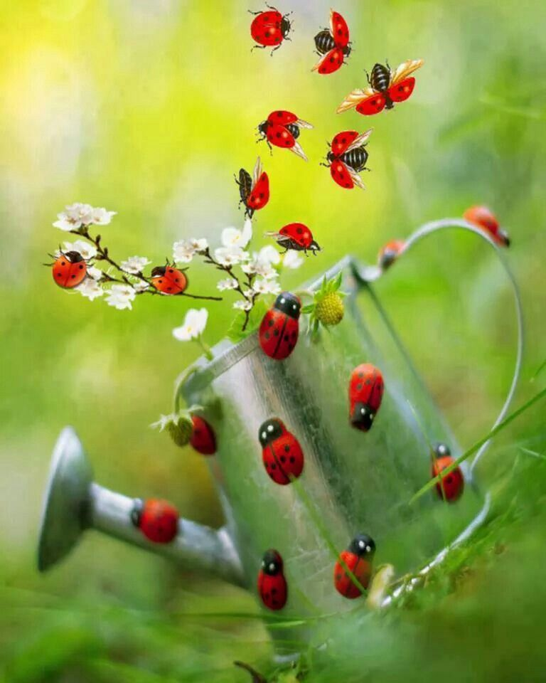 many ladybugs ladybugs and frogs coccinelle papillon insecte insectes. Black Bedroom Furniture Sets. Home Design Ideas