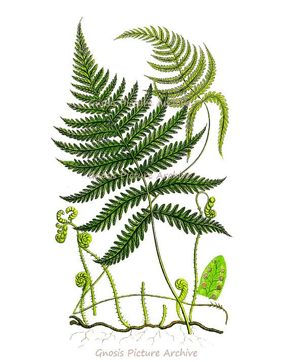 Antique Fern Print No9 Wall Art Old Botanical Book Plate
