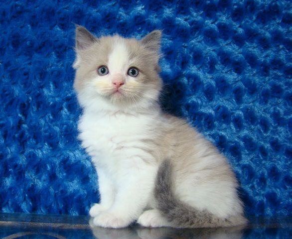 Reagan Blue Bicolor Mink Male Ragdoll Ragdoll Kitten For Sale