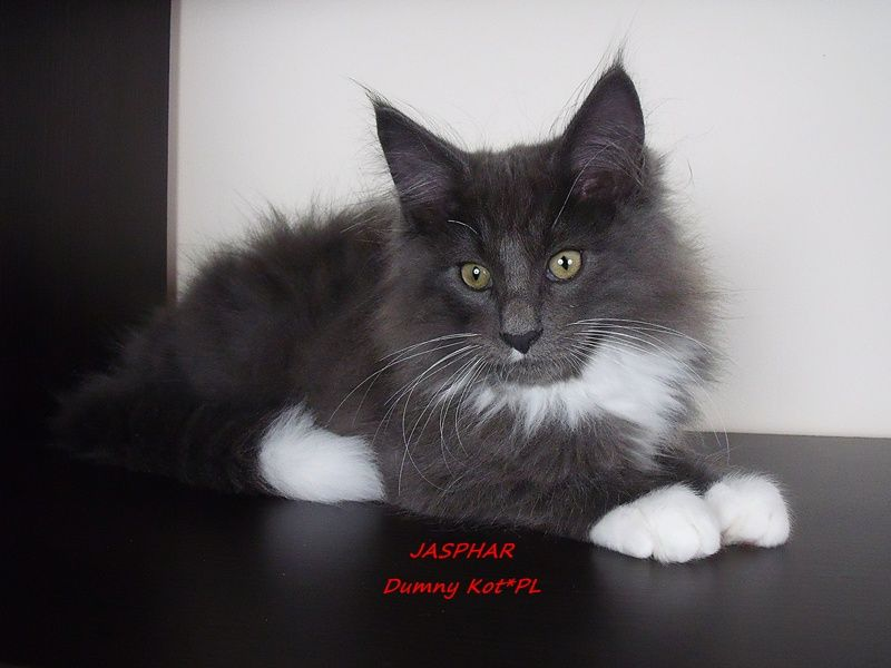 Dumny Kot Pl Norwegian Forest Cat And Russian Blue Cattery
