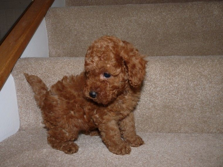 Red F1b Cockapoo Puppies Derby Derbyshire Pets4homes