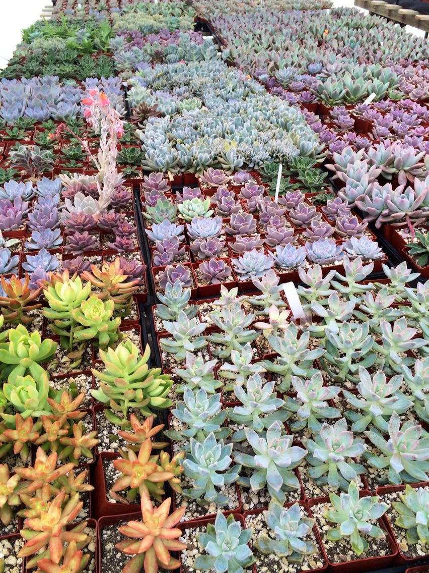Rancho Vista Nursery Nurseries Succulents Kidsroom Succulent Plants Kid Rooms Babies