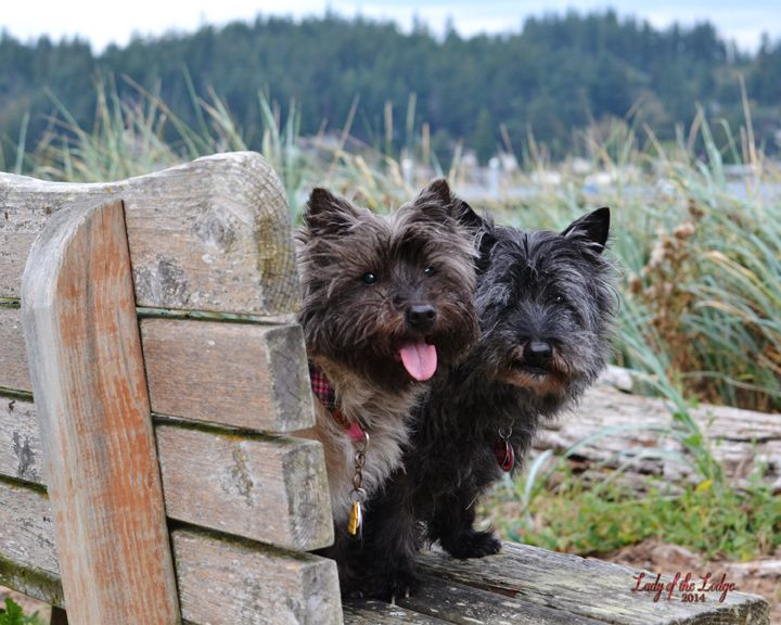 Lady Of The Lodge Photography Whidbey Island Wa Cairn Terrier