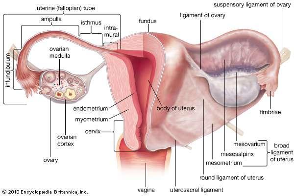 Fimbria Of The Fallopian Tube Anatomy Female Reproductive System Fallopian Tubes Uterus