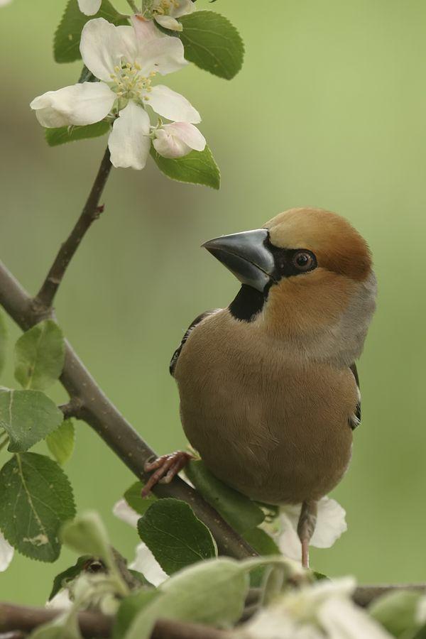 Herr Kernbeisser Besucht Den Bluhenden Apfelbaum Other Finches