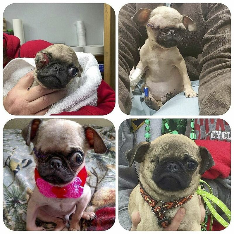 Pug Rescue Profile Pug Rescue Pugs Pug Puppies