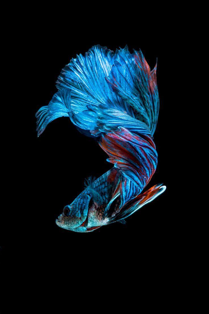 Betta splendens siamese fighting fight fish for Blue fish aquarium