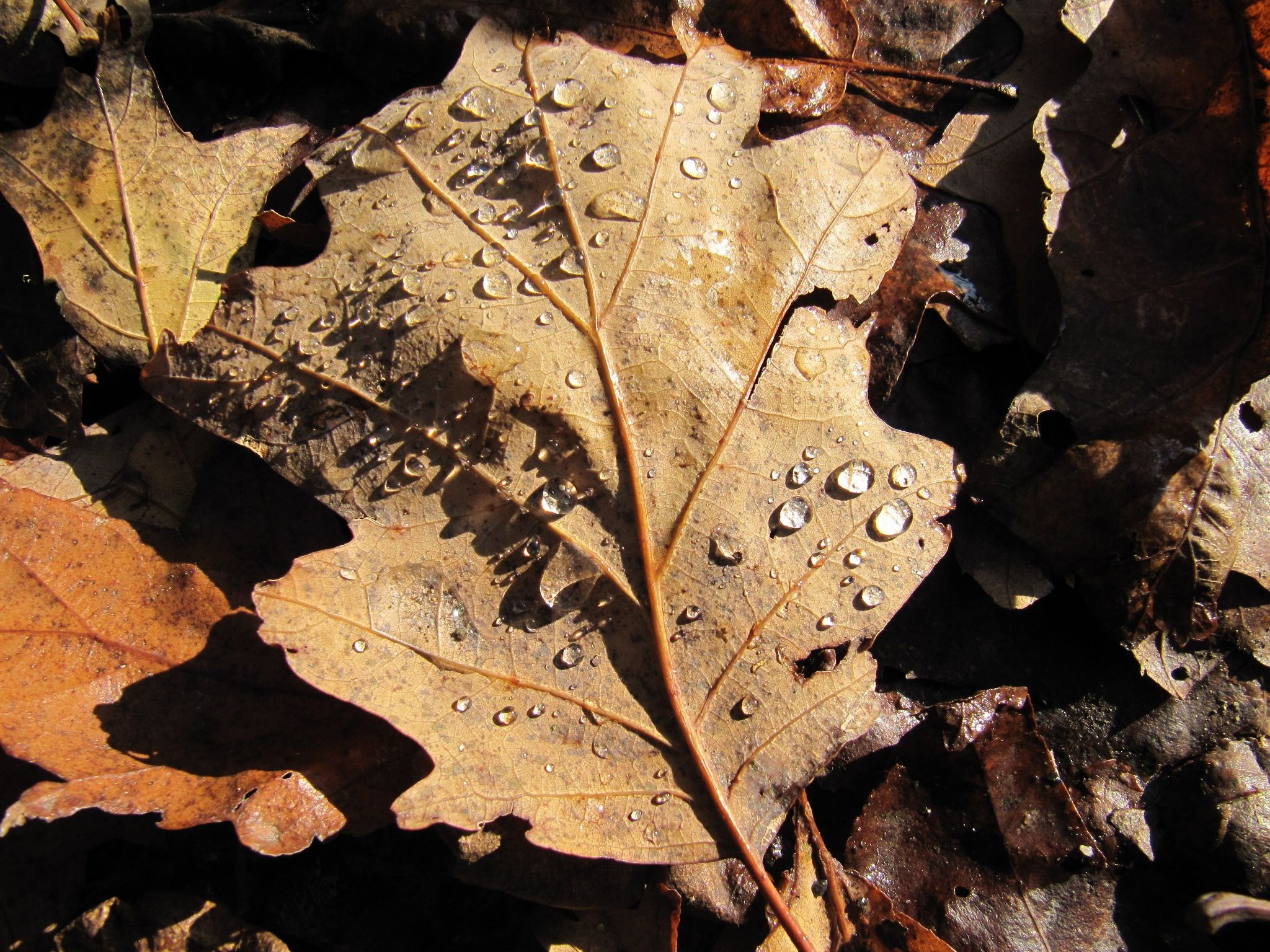 Raindrops on a withered leaf.