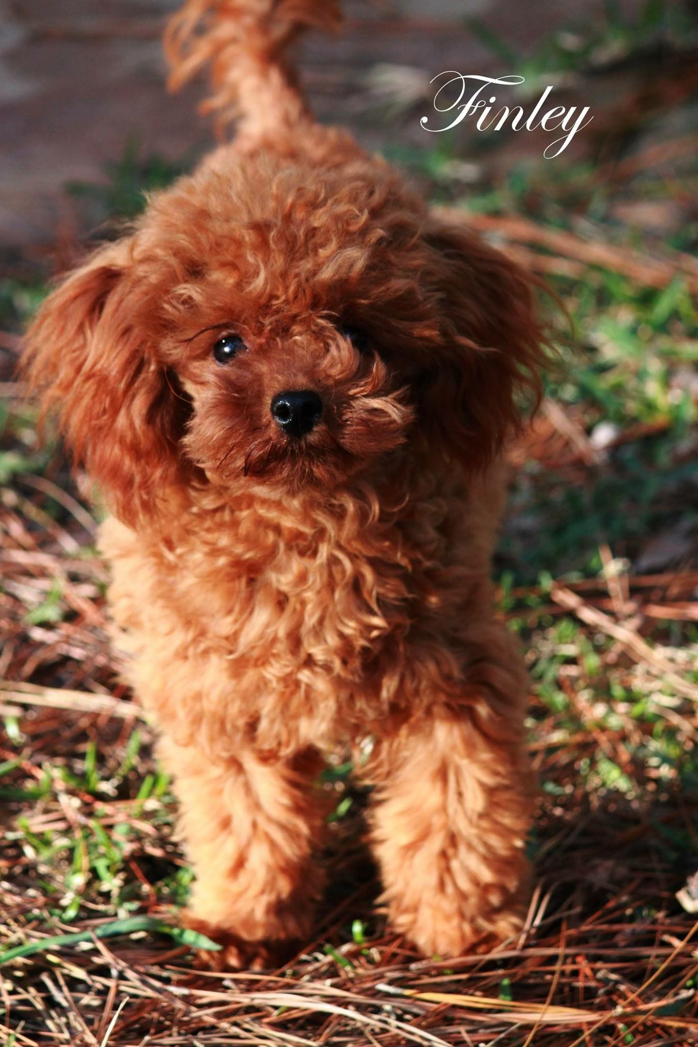 La Petite Poodles Of Texas Mr Finley With Images Cute